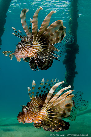 Lionfish under pier, Nuweiba, Red Sea