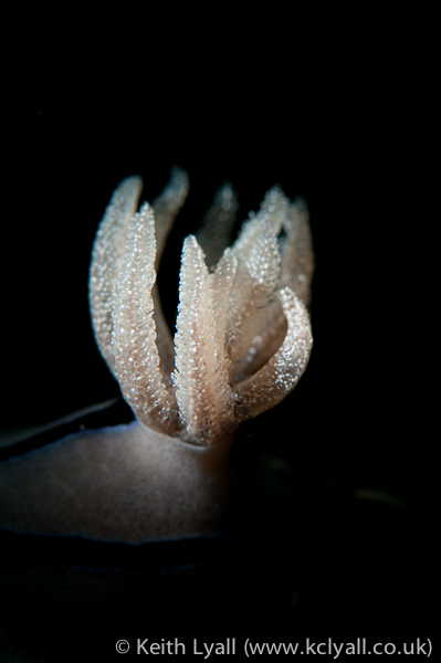 Image 5: Gills of a nudibranch